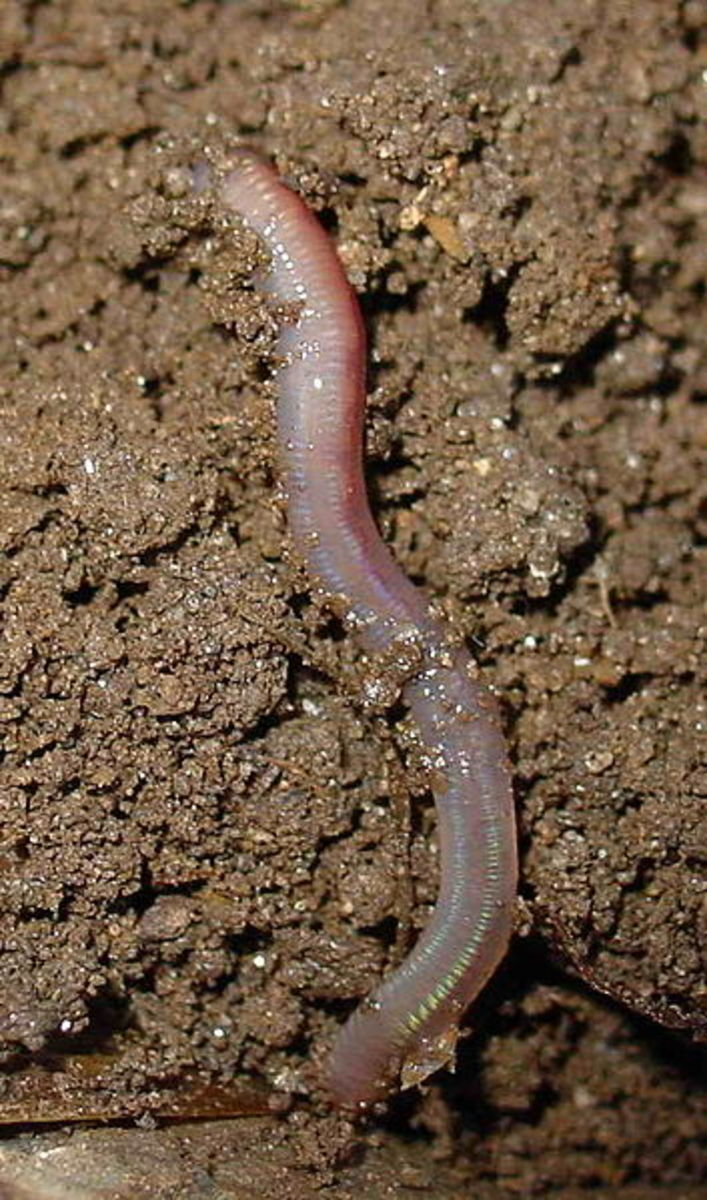 The Earthworm is an annelid and literally eats its way through the earth, tilling the soil