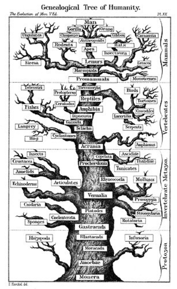 "This ""tree"" of evolution shows the basic relation of the species according to modern understanding."