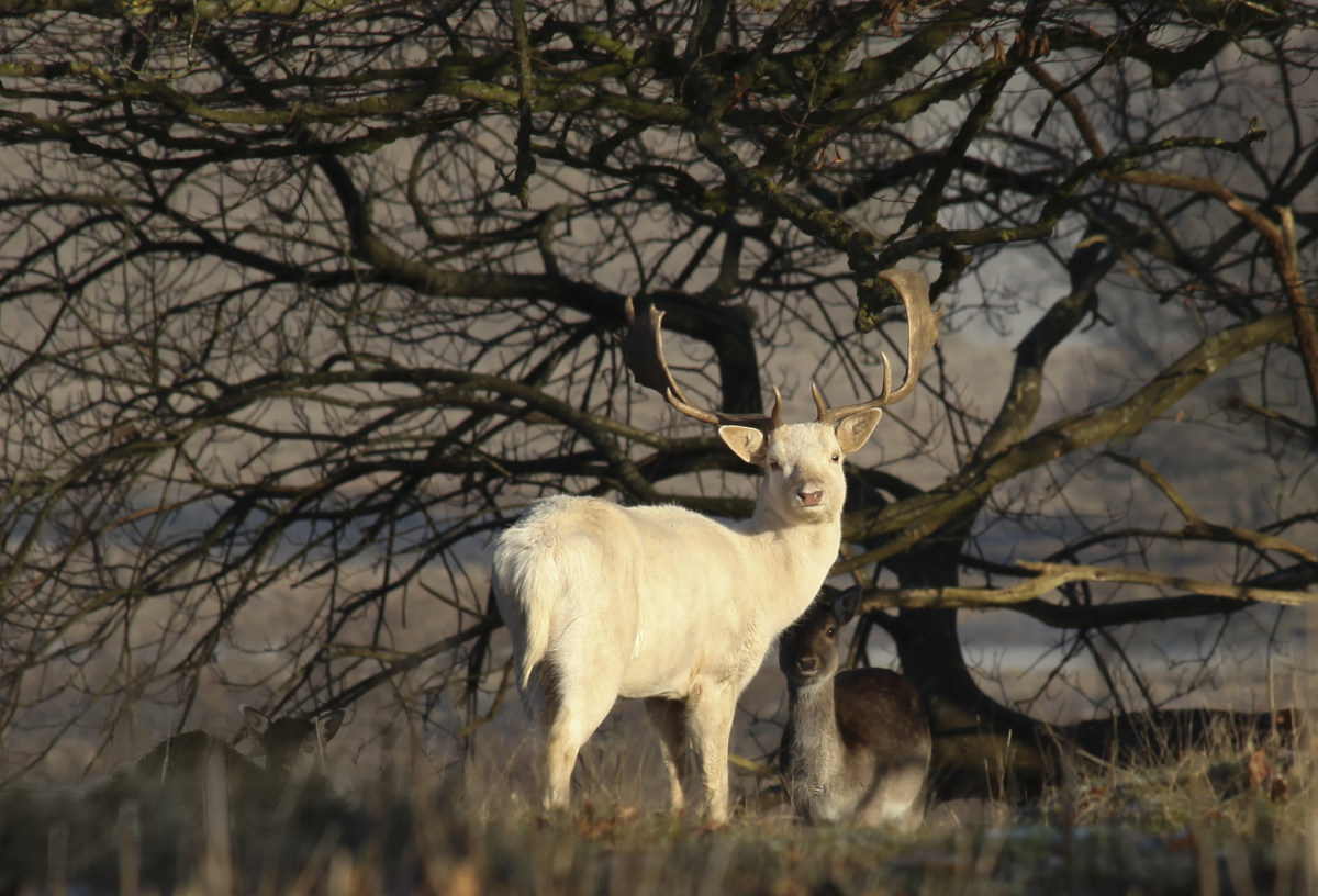 White, Leucistic and Albino Deer.