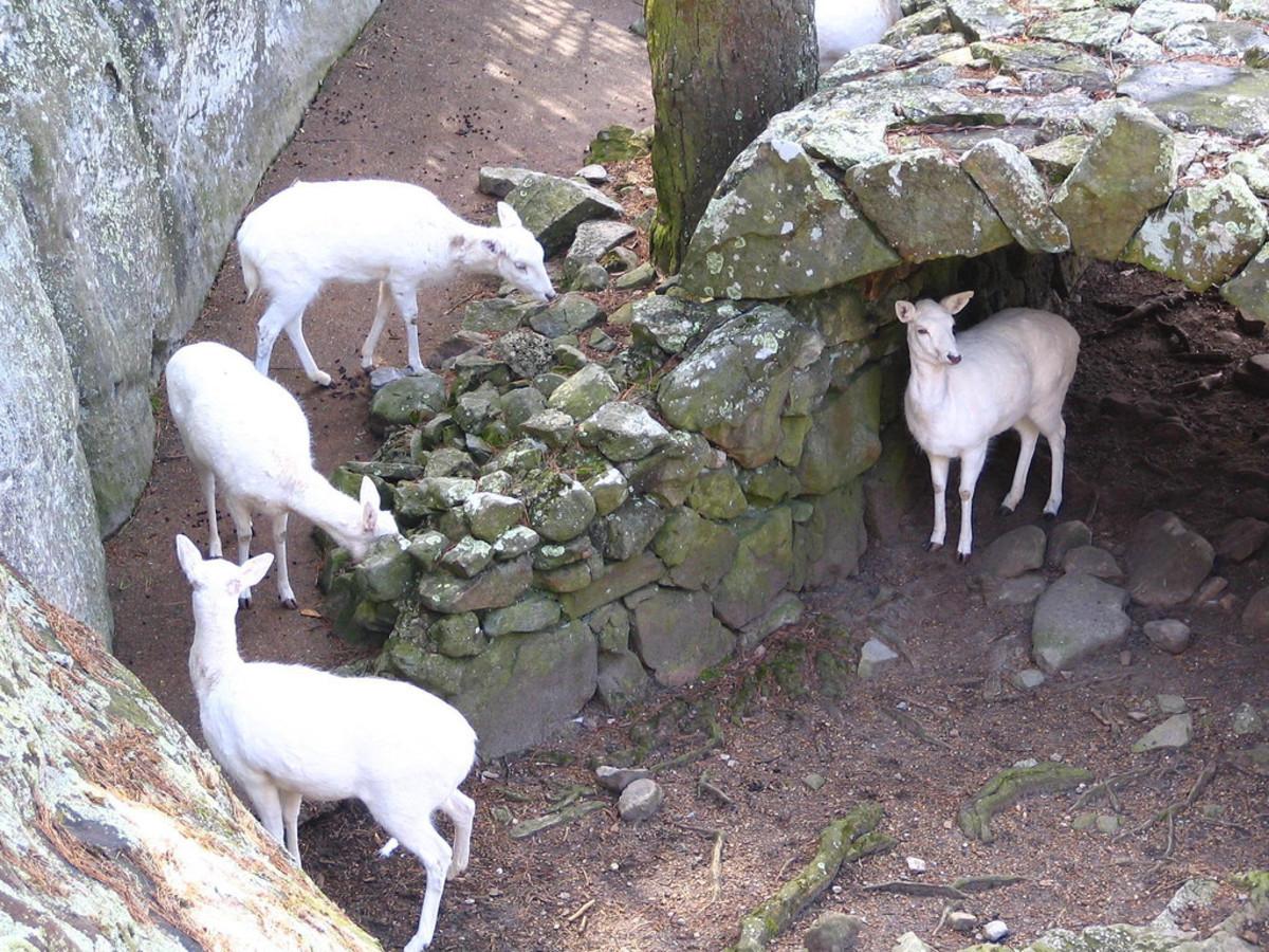 Rocky City white deer