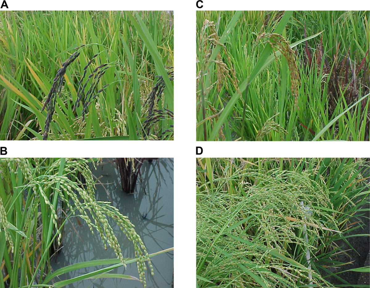 The Diversity of Ancestral Rices. (A) Long, thin-grained rice with purple hull. (B) Round-grained rice with white hull. (C) Panicles of golden-hulled rice (foreground) and purple-leafed rice (background). (D) Tall, weedy rice with pale leaves and sil