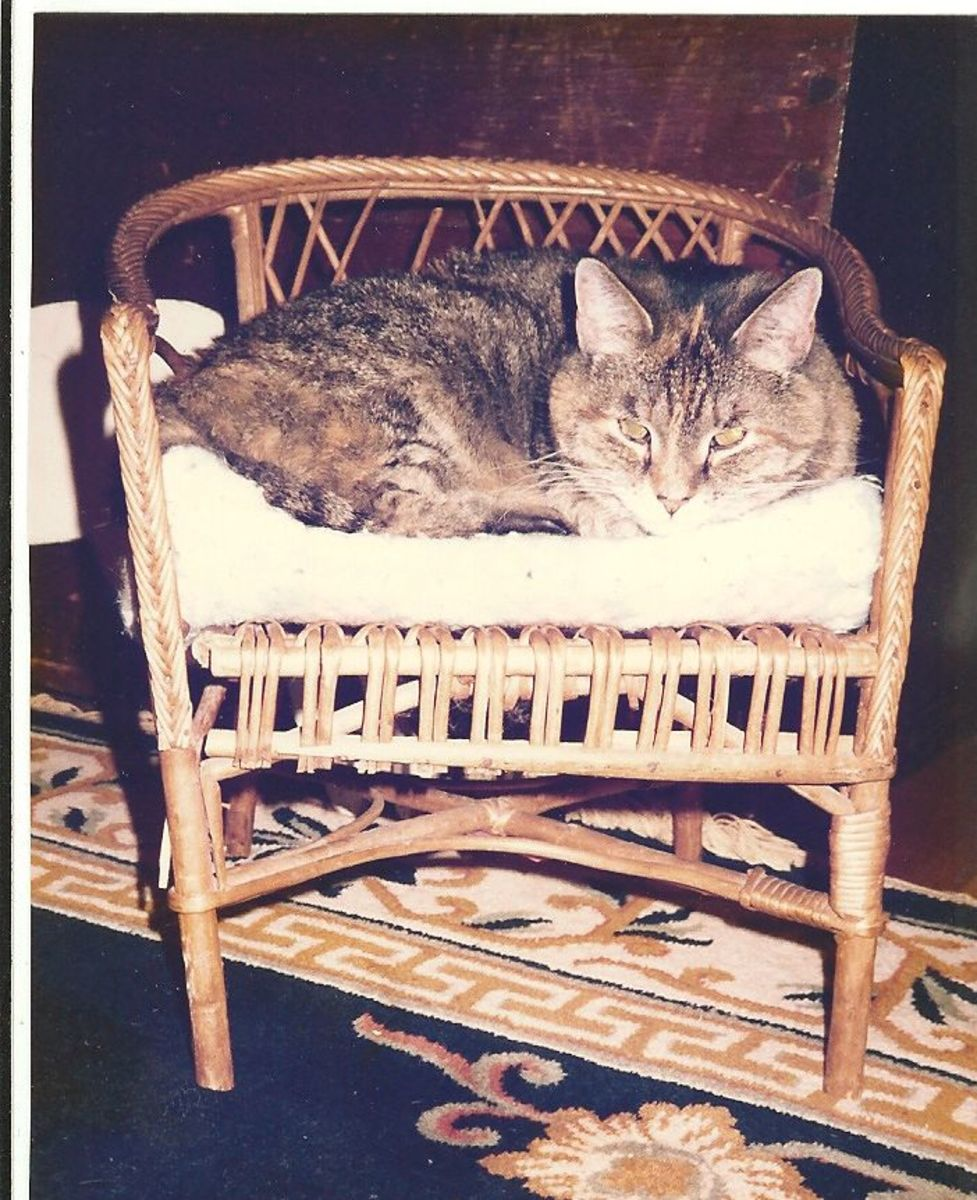 My tabby cat on vintage chair