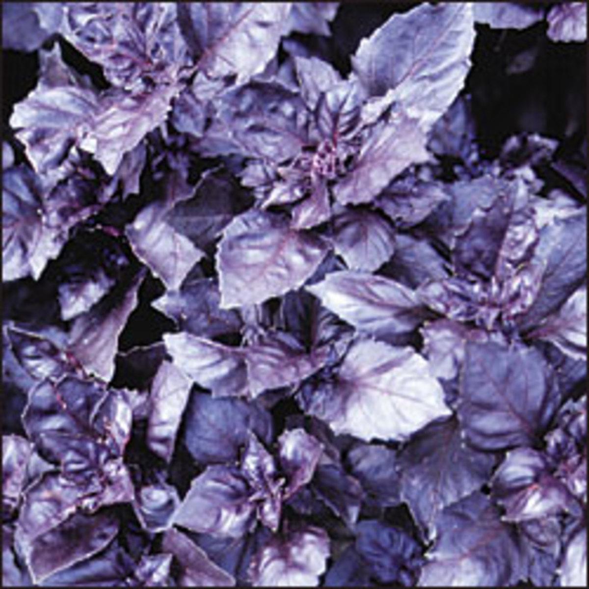 Heirloom Purple Basil Growing