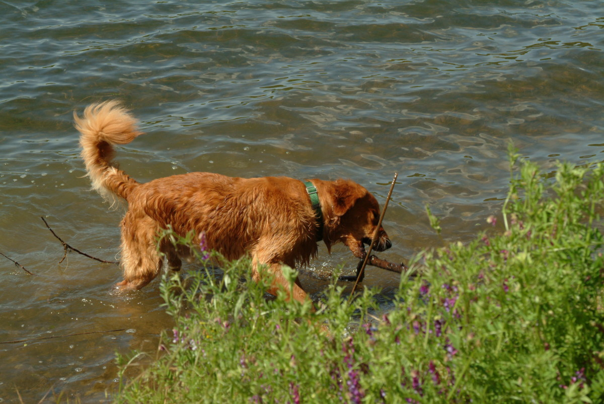 Bring out the retiever in your hunting dog