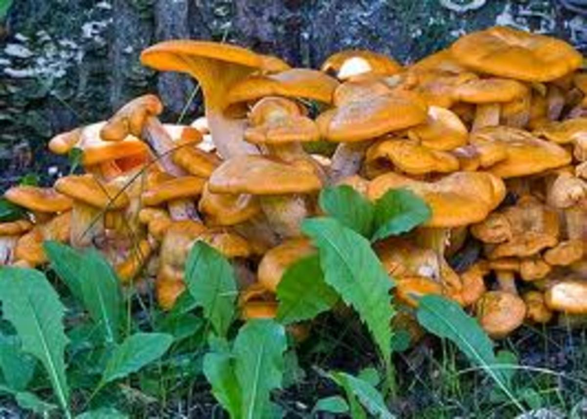 Death-cap mushrooms have many different appearances so always avoid any ingestion of wild mushrooms by your dog.