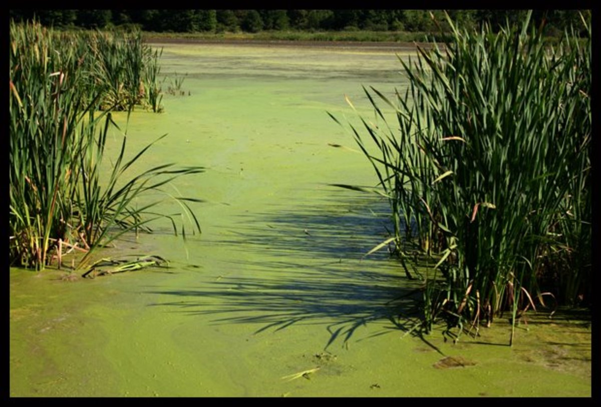 This is an image of a highly advanced bloom of Blue-green Algae. It will kill your dog if it is ingested.