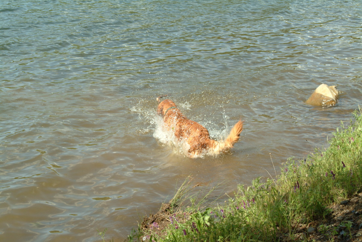 The thrill of retrieving is a dogs favorite thing.