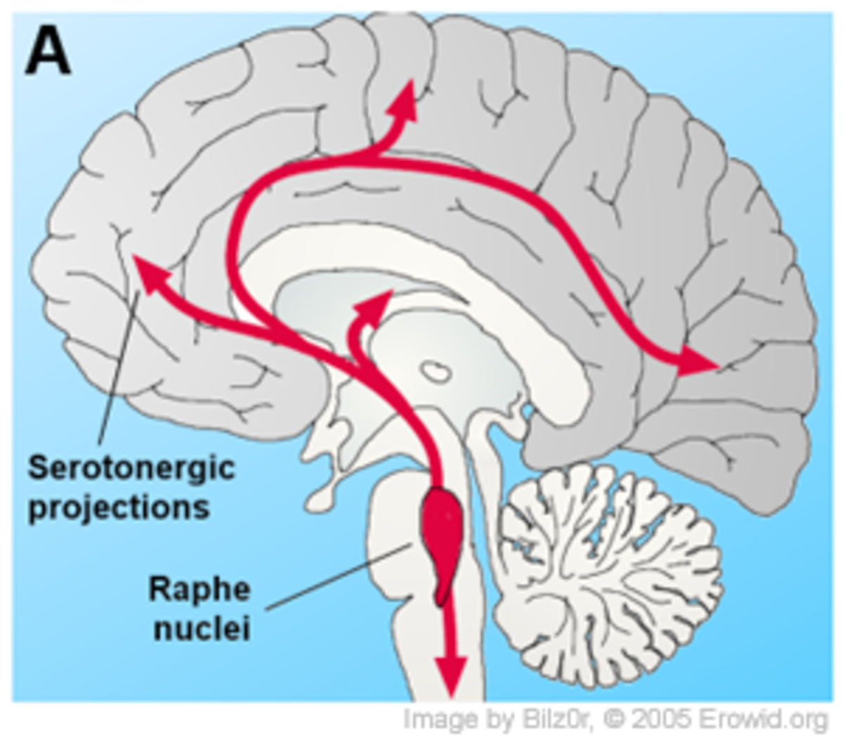 Raphe Nuclei in the Brain