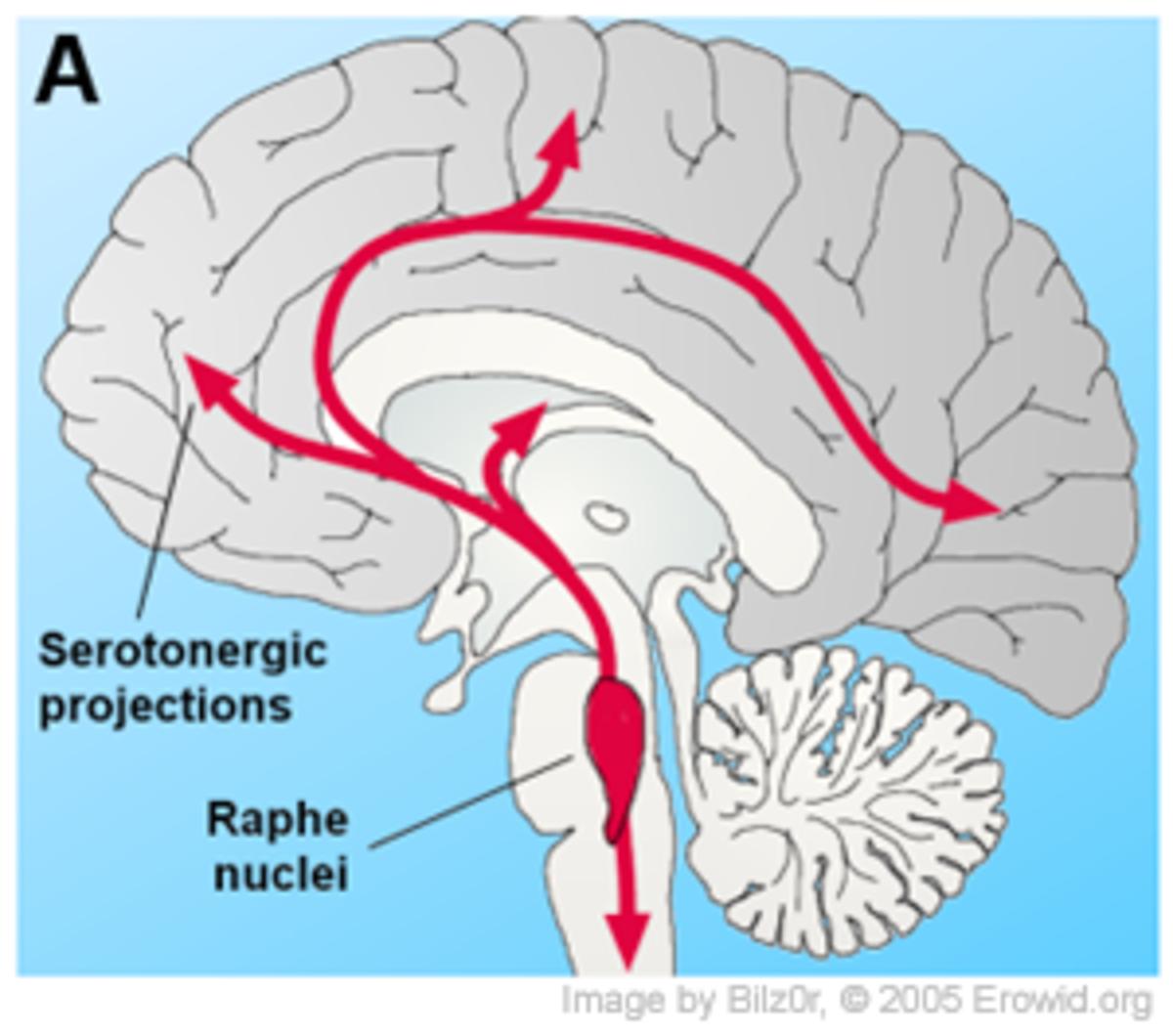 Raphe Nuclei in the Brain