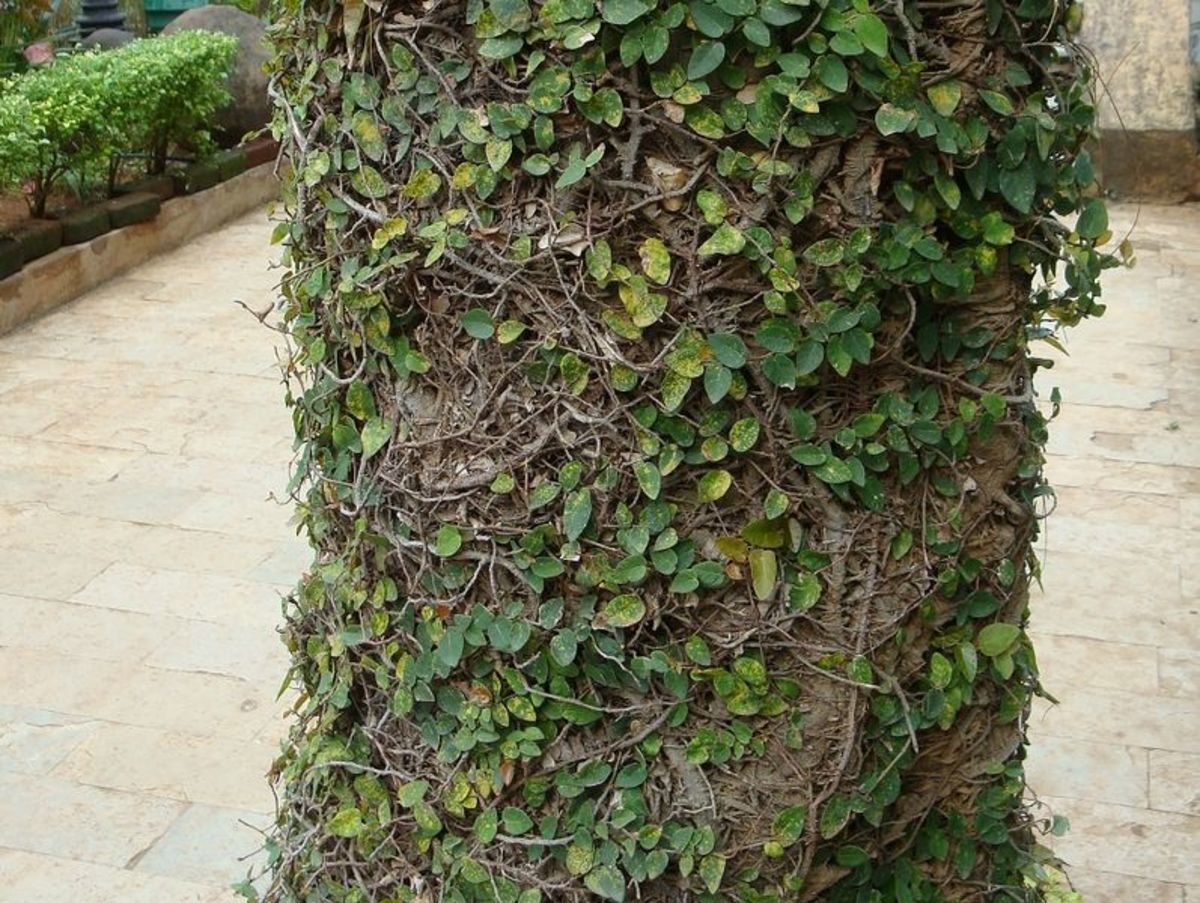 Ficus pumila on a palm trunk.