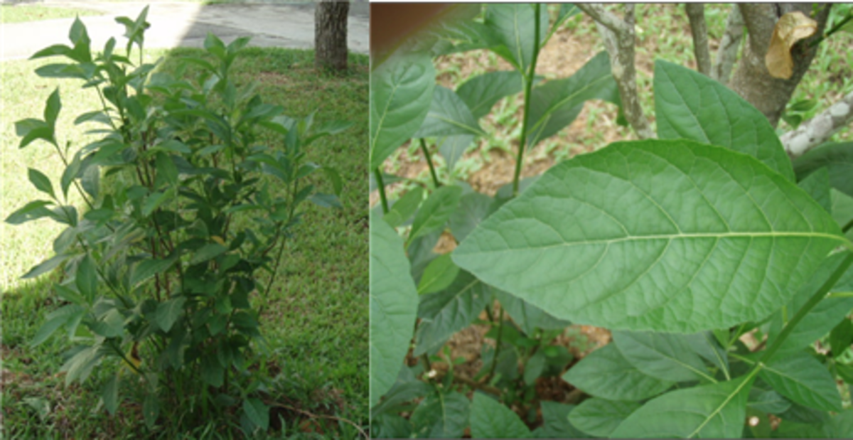 african-leaves-natural-cure-for-stroke