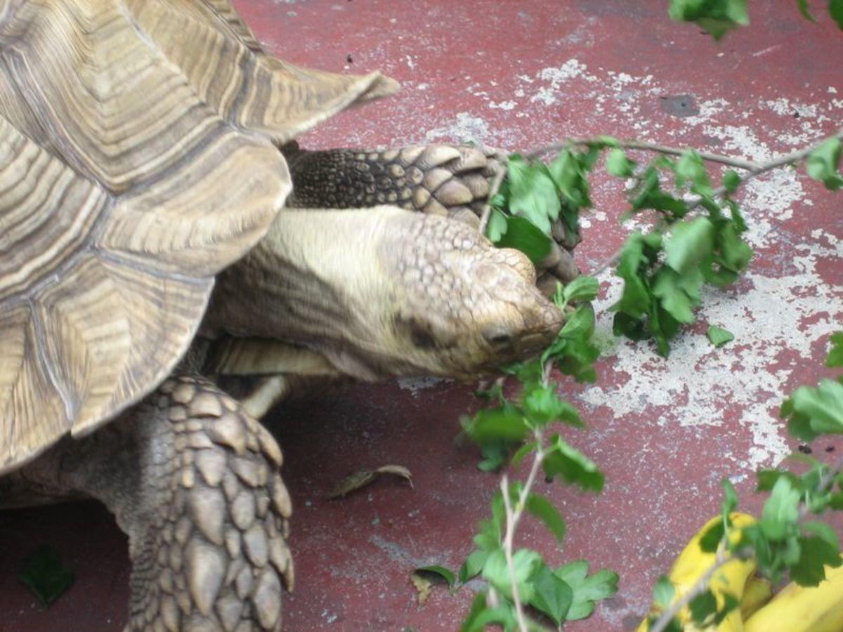 sulcata-tortoise-diet