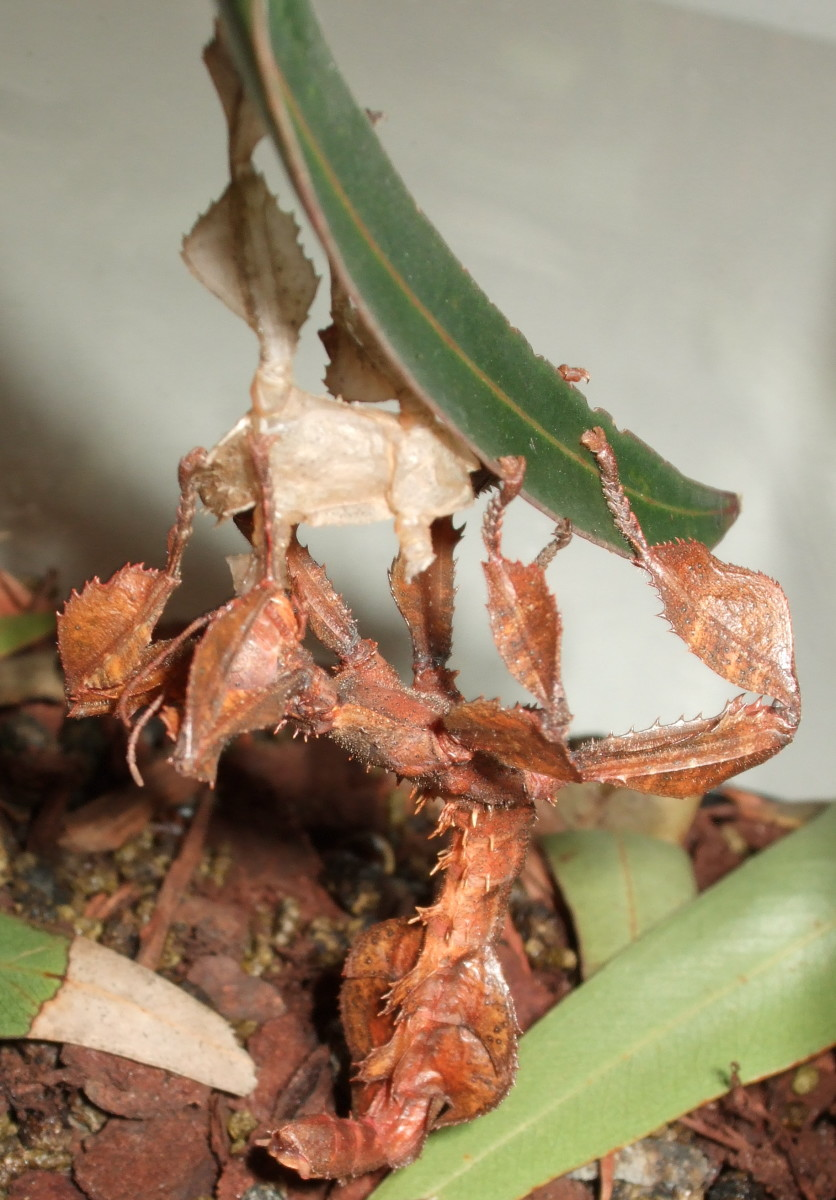 Keeping Spiny Leaf Insects As Pets Phasmid Facts And How