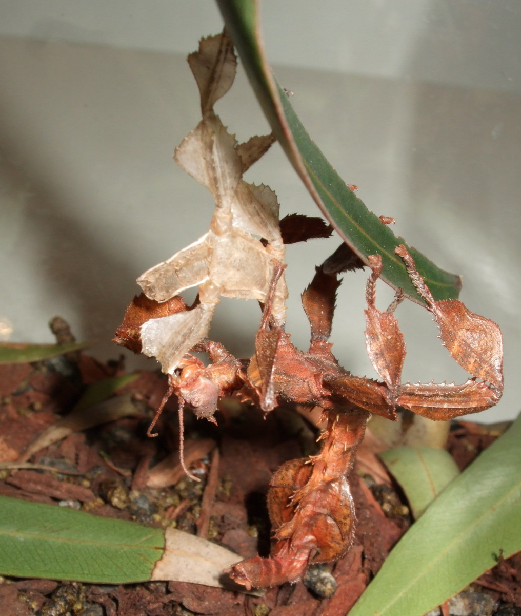 After shedding their skin, the Spiny Leaf Insect devours it!