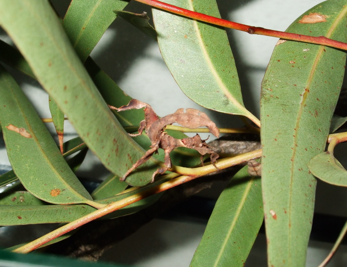 Our baby Spiny Leaf Insect is now about 5 cm (2 inches) long.  She has already shed her first skin, which she then ate!