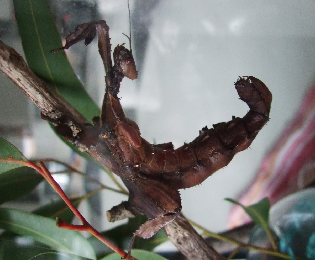 keeping-spiny-leaf-insects-at-petsare-they-the-new-goldfish