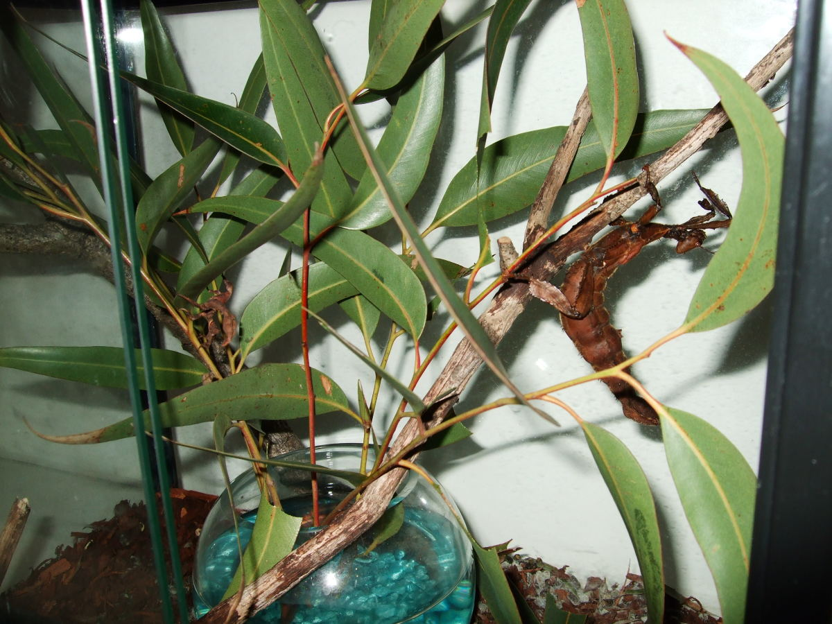 Our two female Spiny Leaf Insects.  Can you see them both?