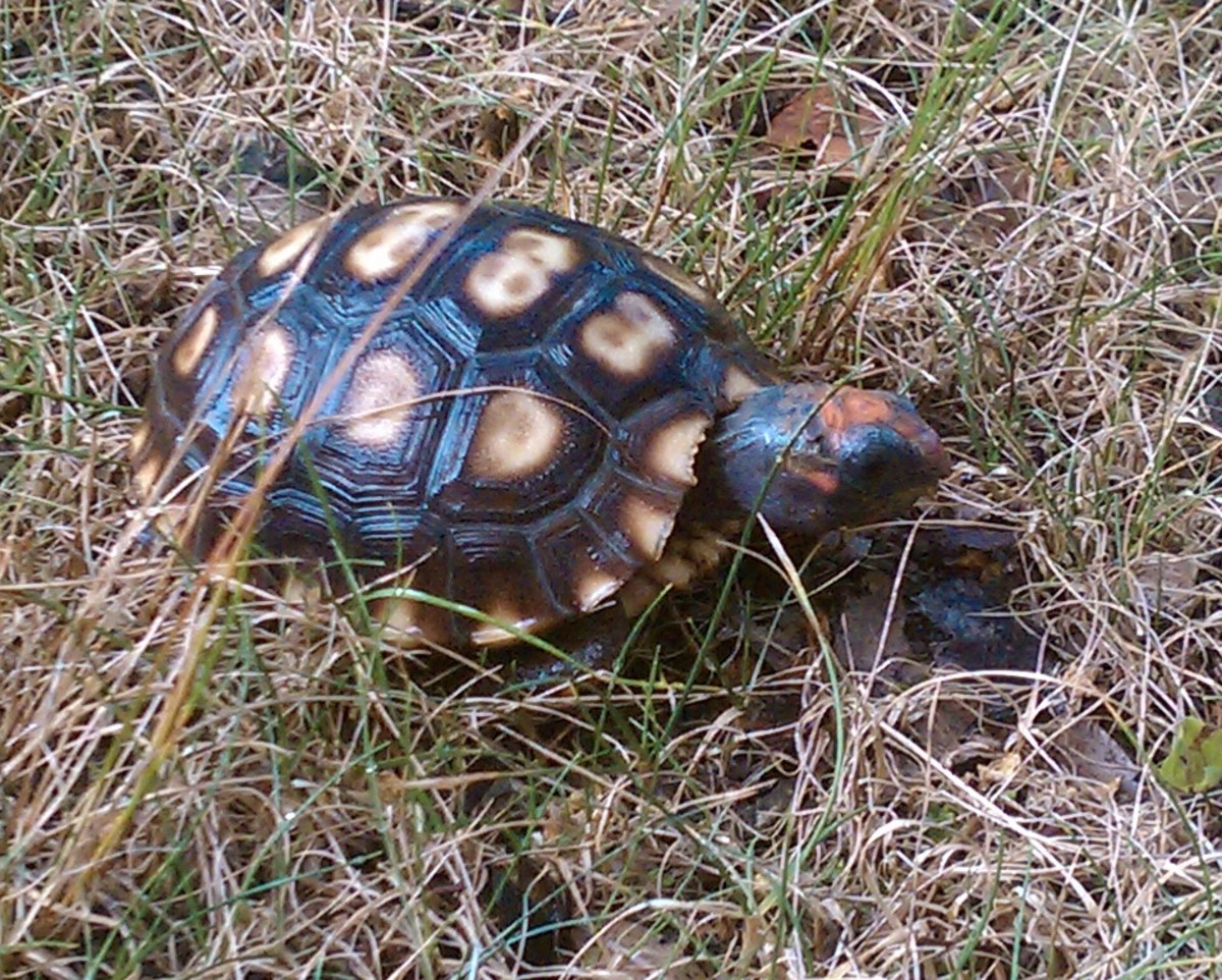 red-foot-tortoise-care