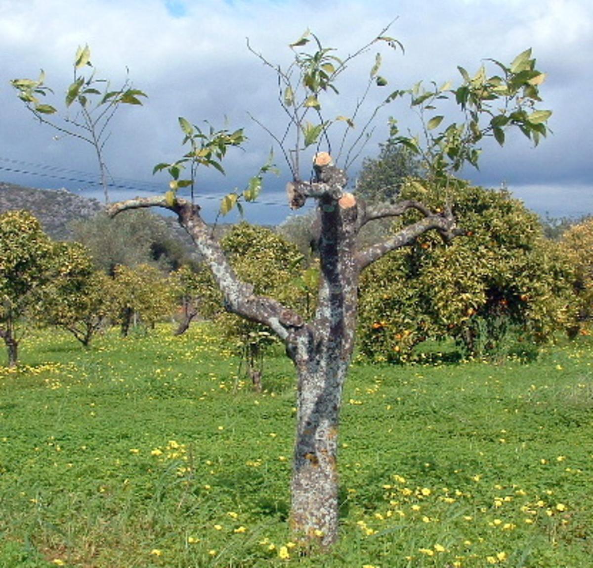 Pruned tree ready for transplantation