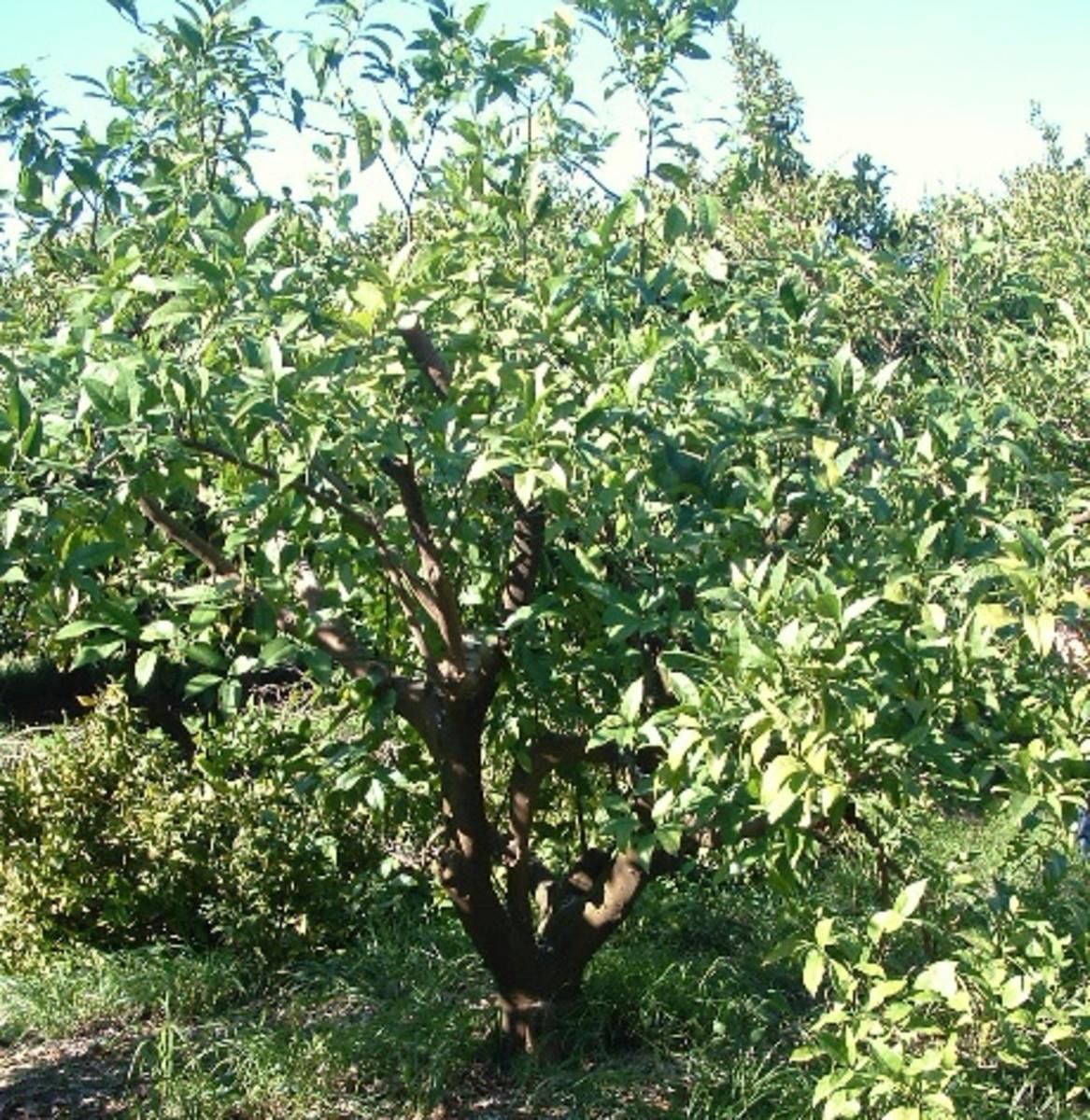 Pruned orange tree