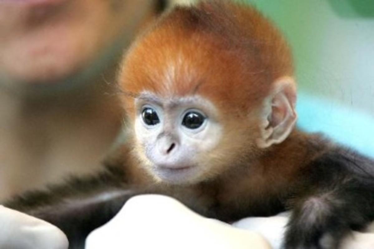 A baby Langur monkey.