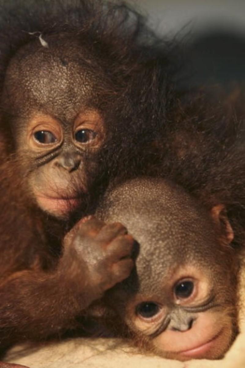 Endangered monkeys in Indonesia.