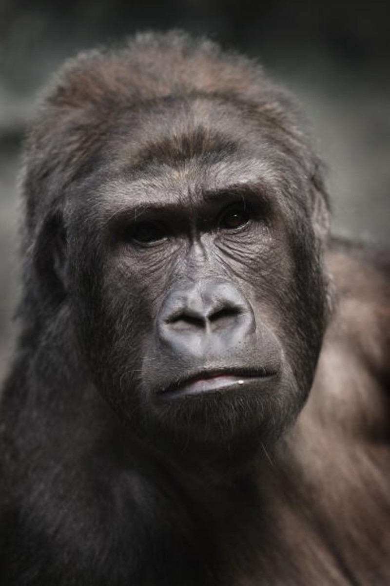 gorillas in verge of extinction Gorillas are the largest living primates - the family of animals that includes monkeys, apes and humans a mature male gorilla can be over 6 feet tall and.