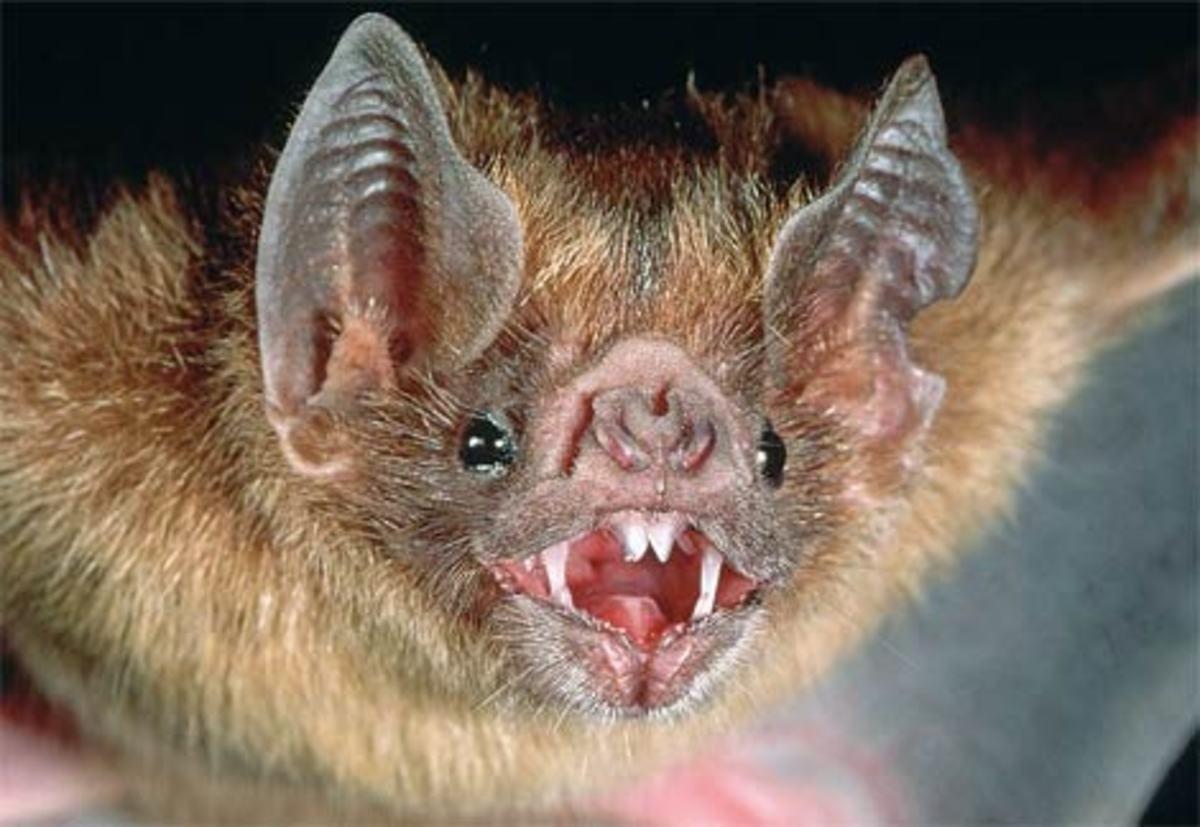 Bats that Bite, Blood Sucking Vampire Bat & Poisonous Bats
