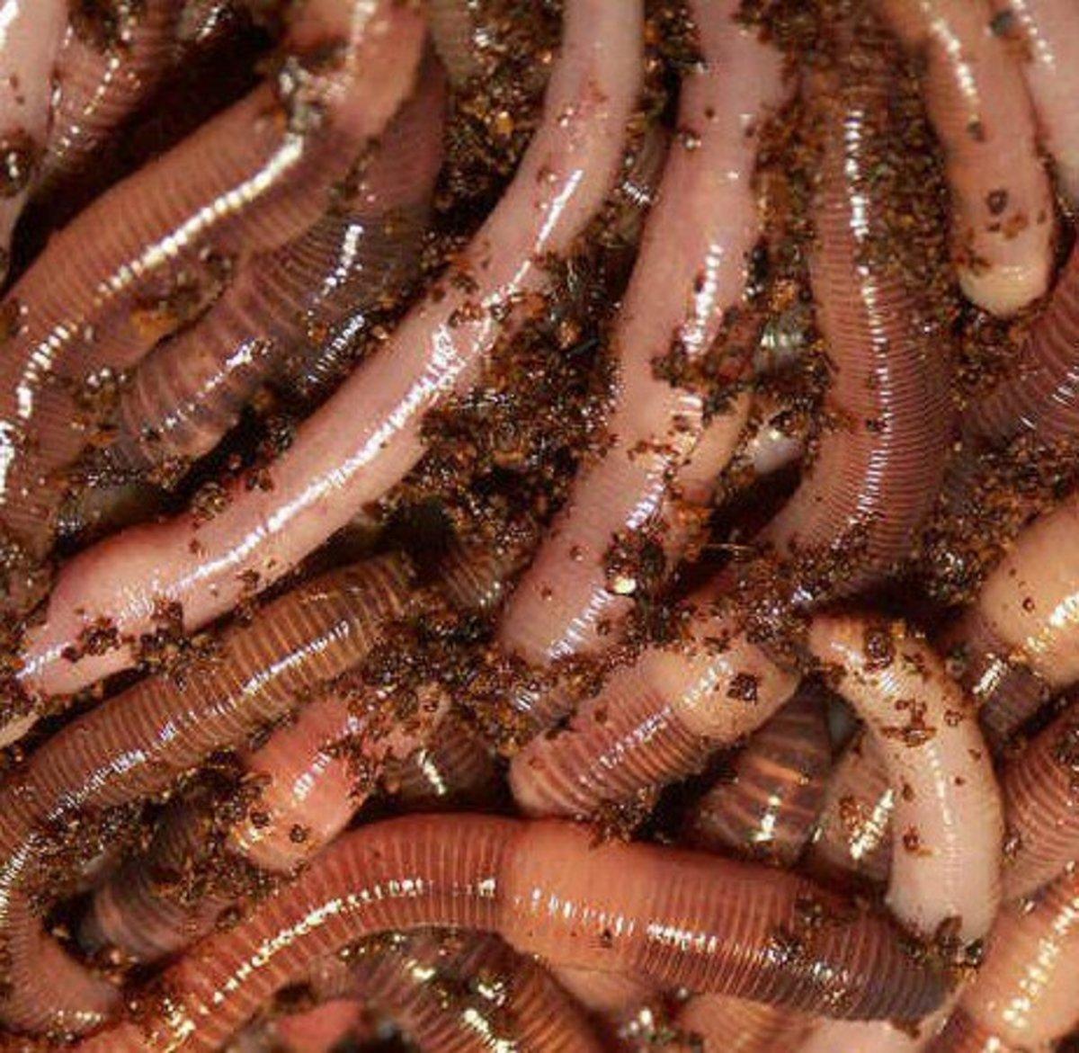 European nightcrawler worm farm composting bait