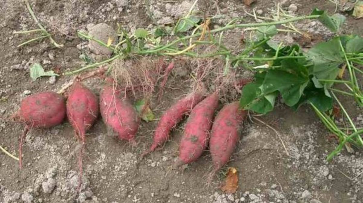 Photo of sweet potatoes from Wikimedia Commons, courtesy of Miya.