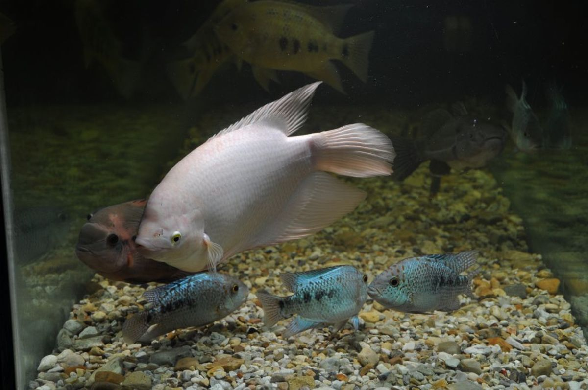 Big Meanie: Behemoth of the Gouramis - Osphronemus goramy Golden Giant Gourami