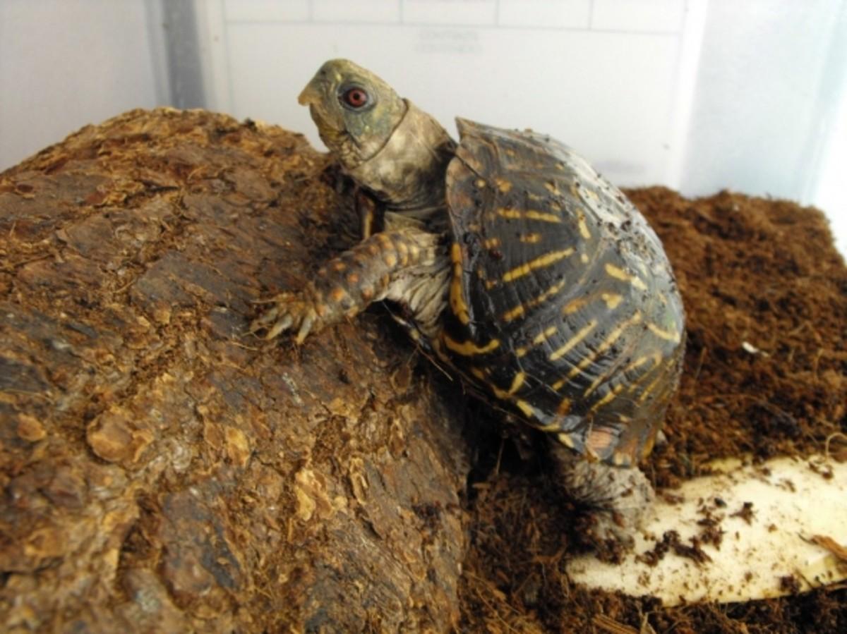box turtle climbing hut