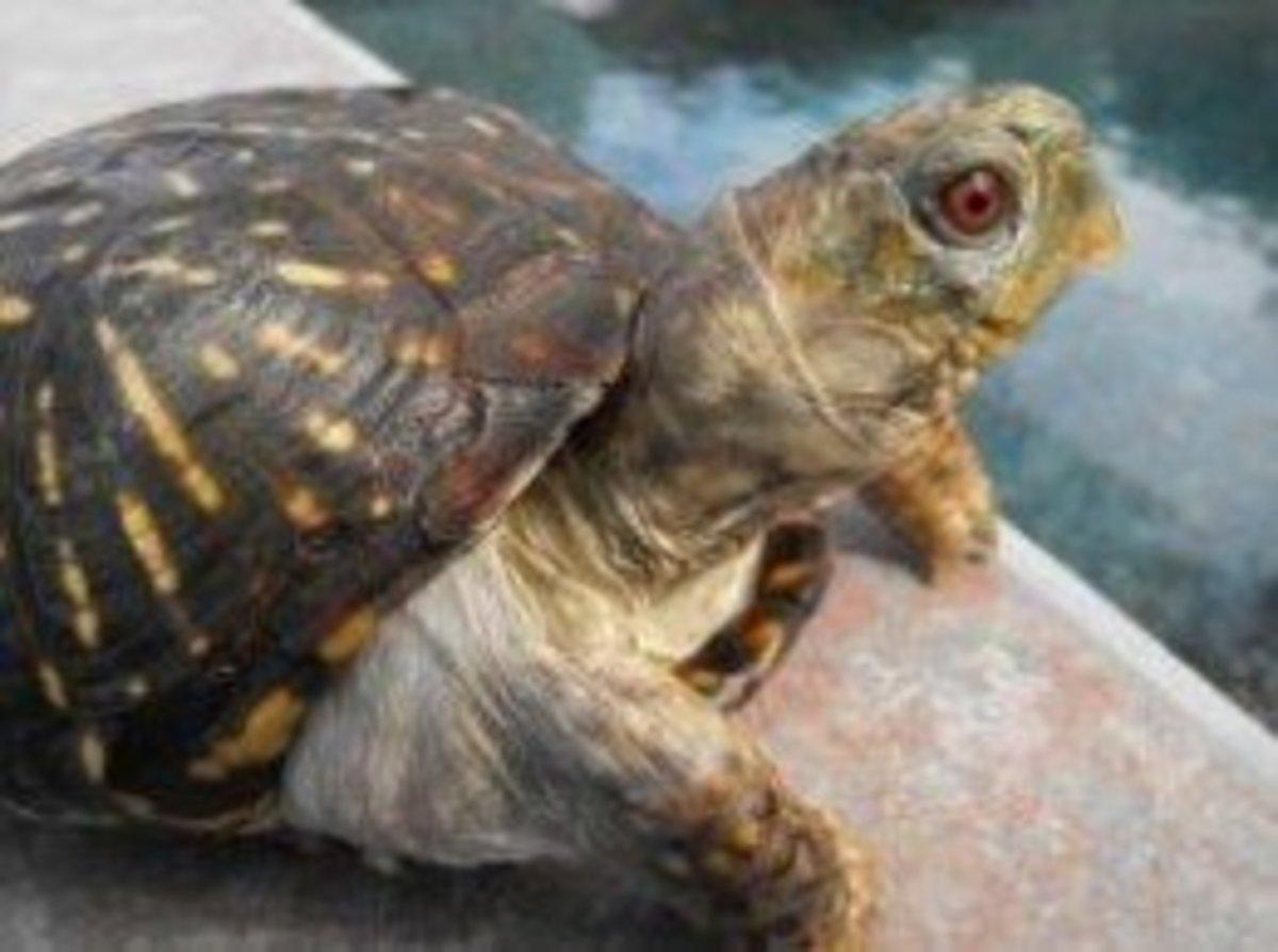 Ornate Box Turtle Starter Supplies