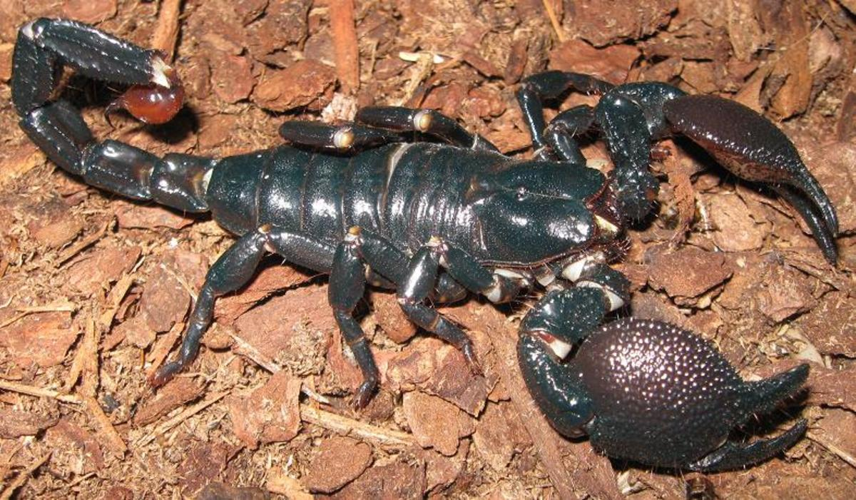 South African Emperor Scorpion