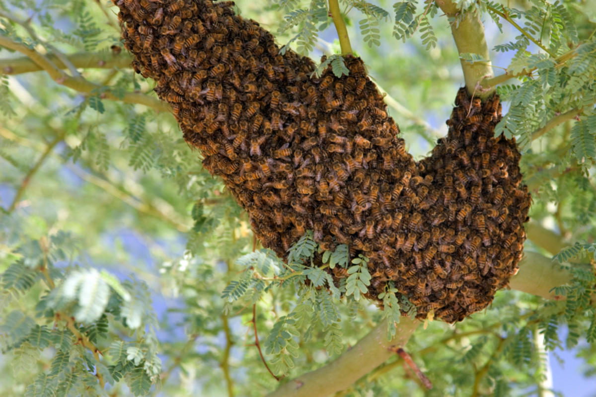 Hive of Africanized Bees