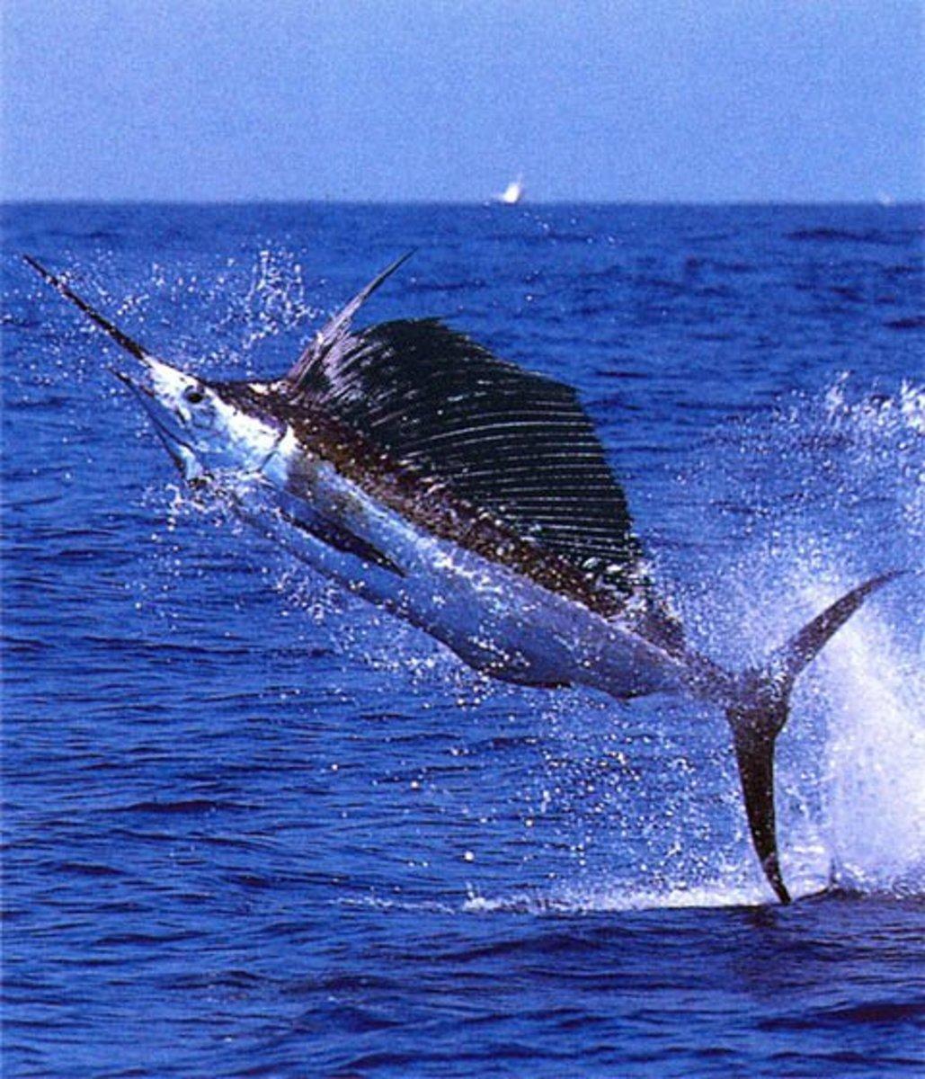 Magnificent Broadbill Swordfish