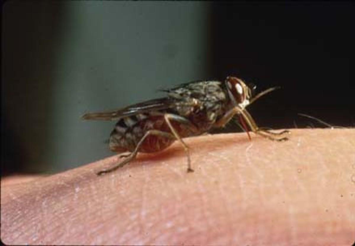 Tsetse Fly, Kills Millions ever Year