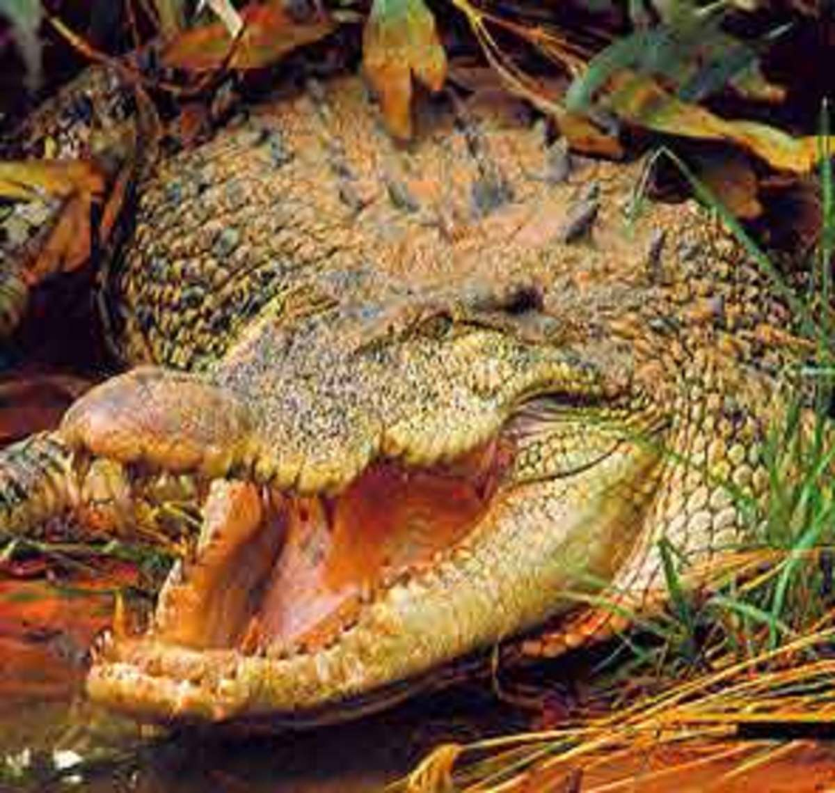 Crocodiles are Abundent in India