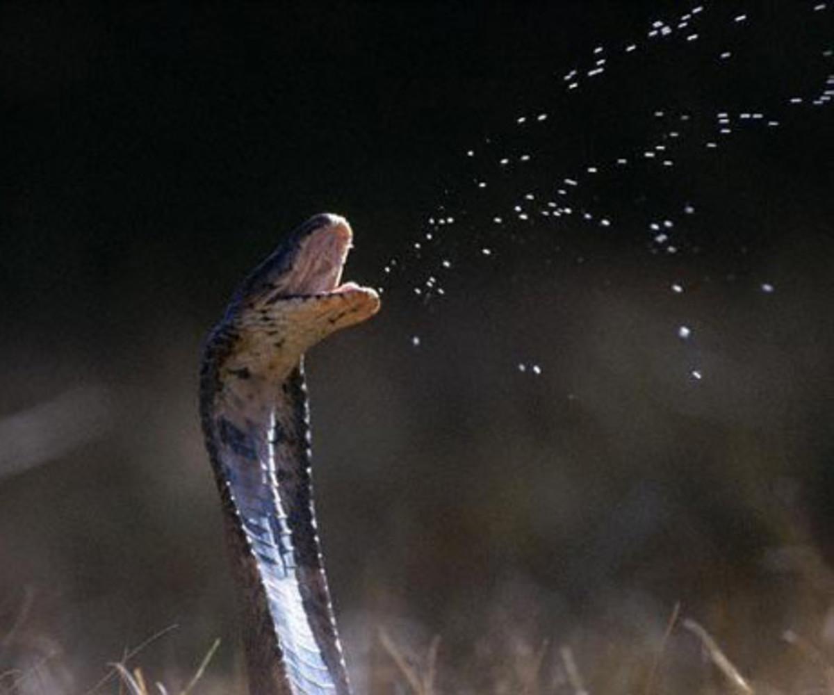Cobra Spitting Venom