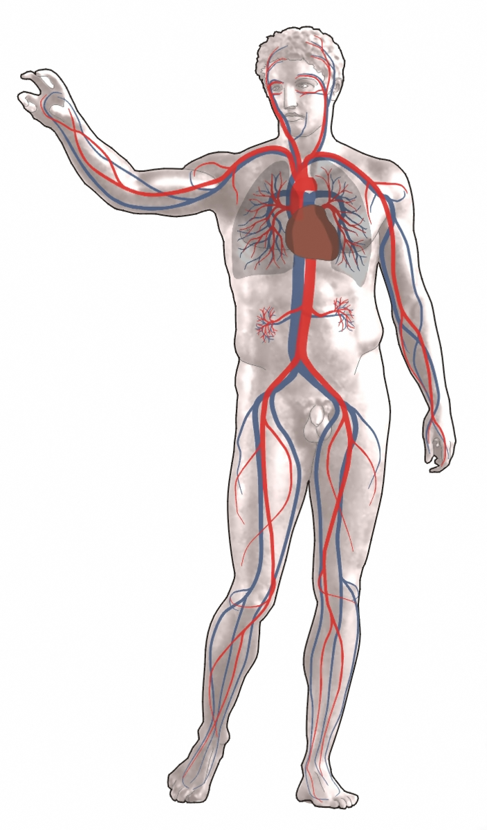 BLOOD CIRCULATES THROUGH THE HUMAN BODY