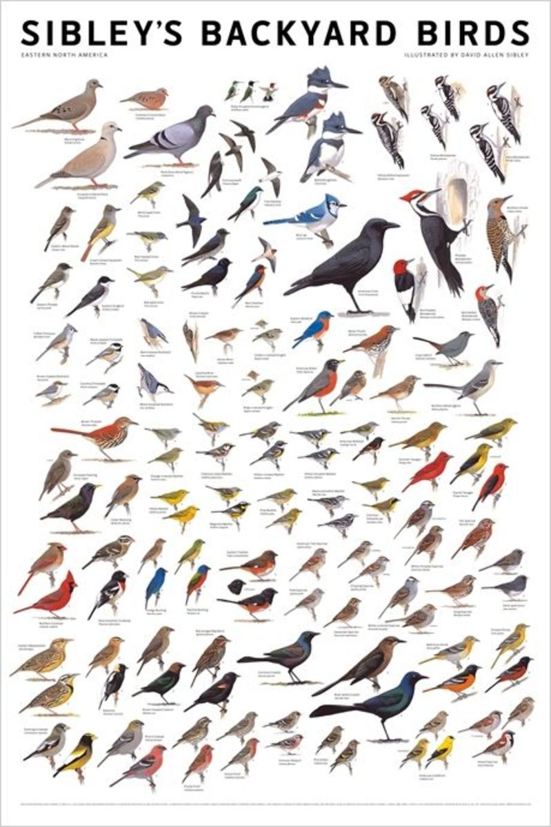 David Allen Sibley Backyard Birds Poster