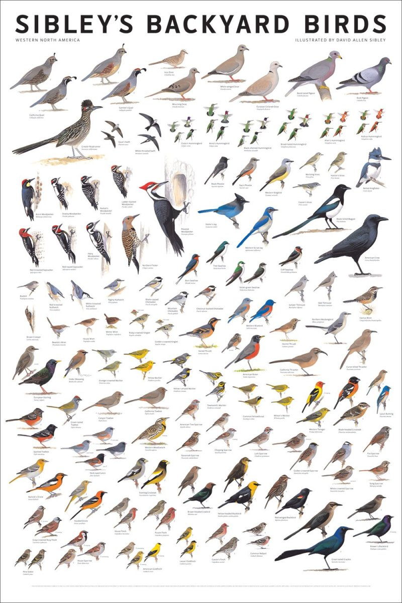 Sibley's Backyard Birds of Western North America
