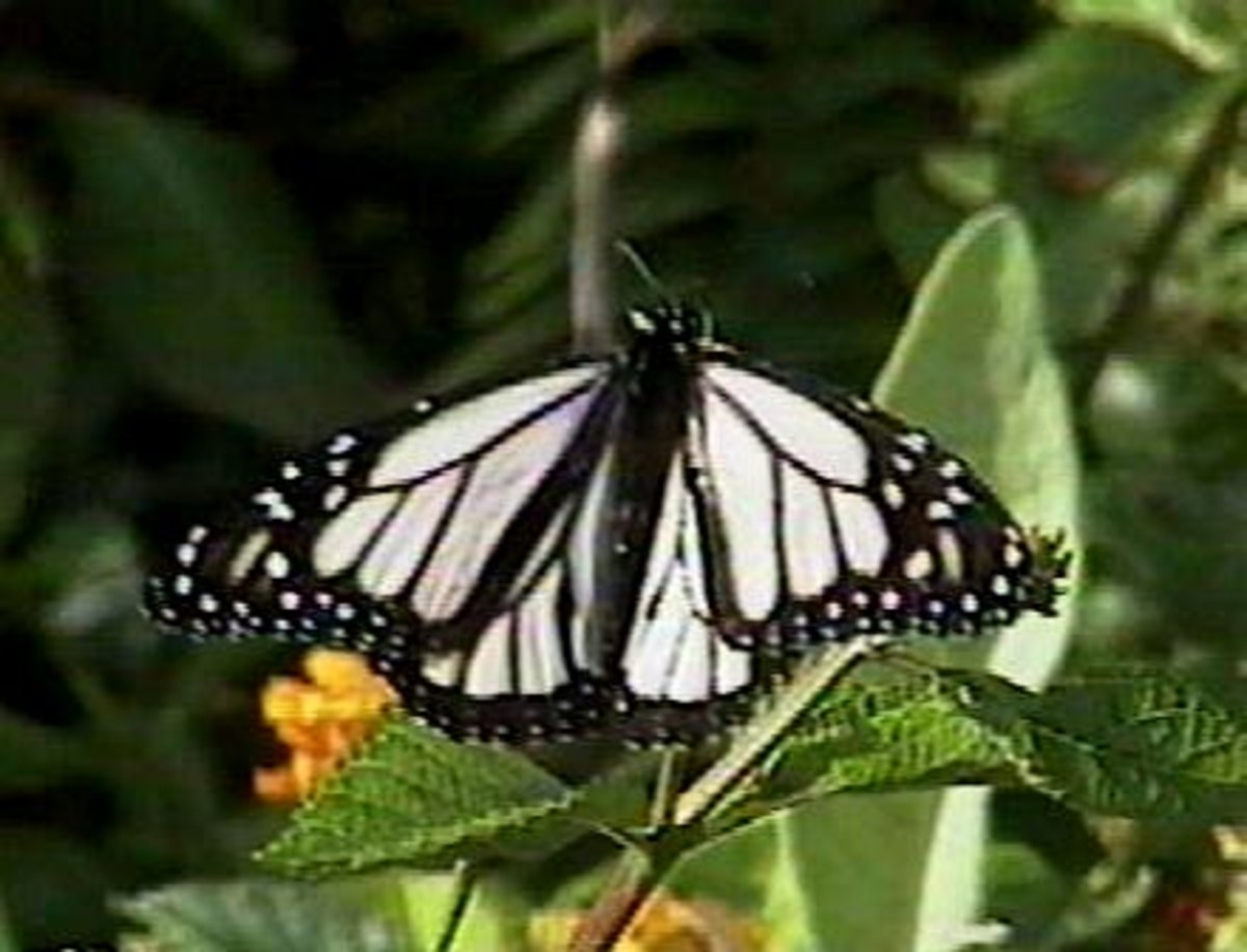Albino Monarch