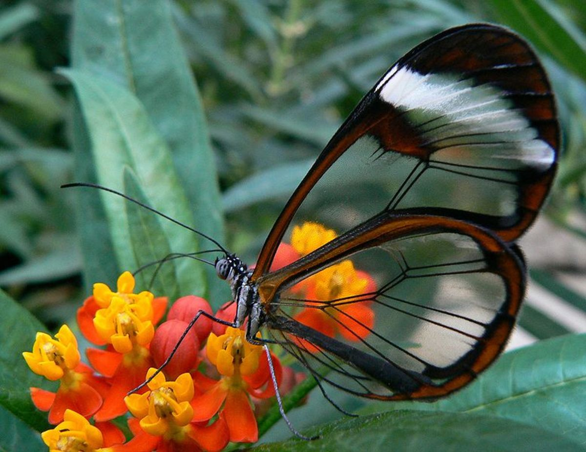 South American species with transparent window wings.