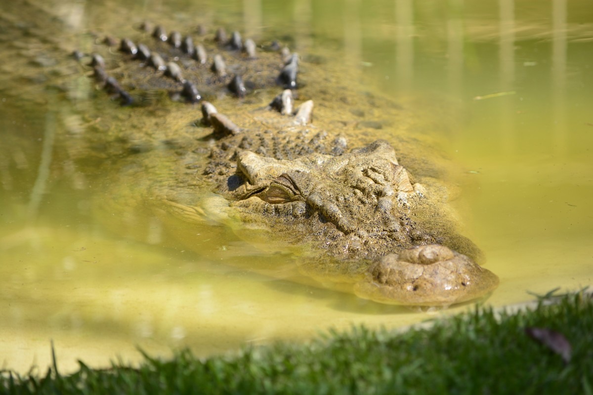 the-saltwater-crocodile-and-the-imperial-army-in-burma