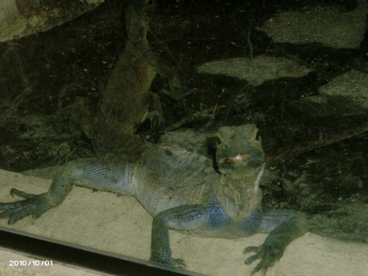 Sailfin Water Lizard