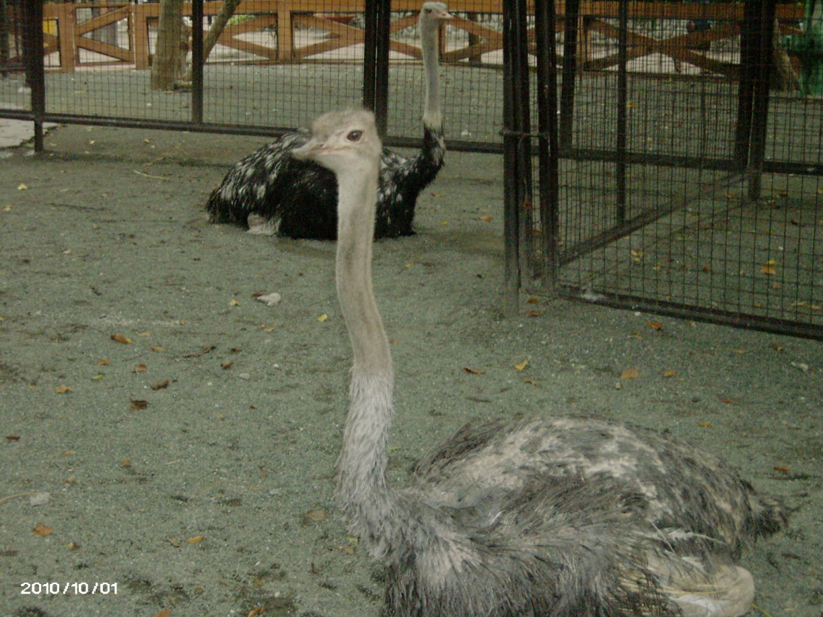 Ostrich in entirely different enclosure.  the Old ostrich is it possible that she was the one in my background in my 1972 picture?