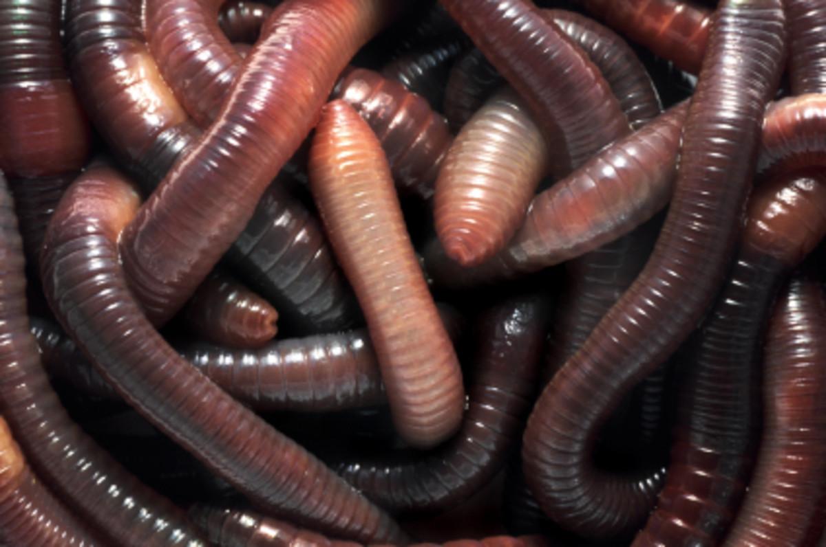 Huge Healthy Clean Earthworms