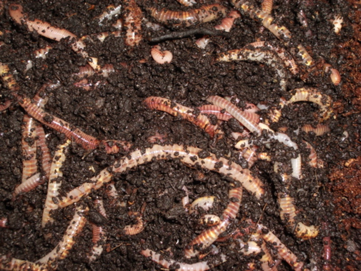 Healthy worms grow in abundance given the correct temperatures.