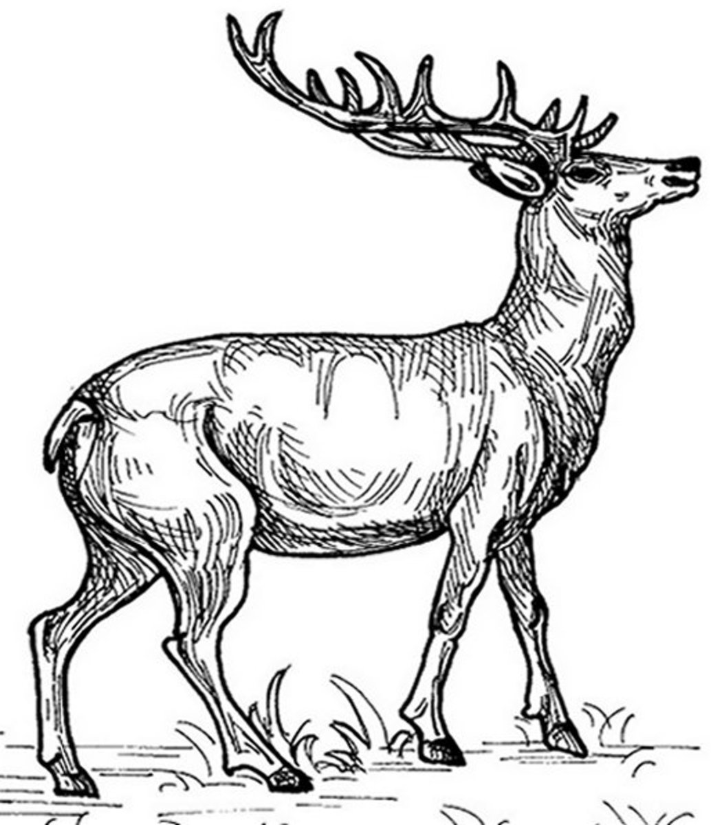 Kids Wild Animals Coloring Pages - Wild Elk